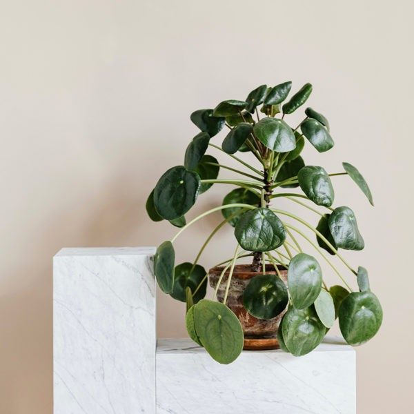 Pokojová rostlina